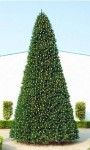 25' Classic Sequoia Tree with Metal Stand