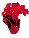 5 Poinsettia Flowers in Red Pot